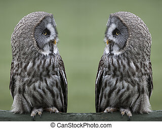 Great gray owls - Great grey, gray owls Strix nebulosa,...