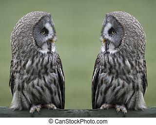 Great gray owls - Great grey, gray owls Strix nebulosa,...