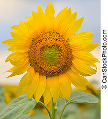 hermoso, sunflower, ,