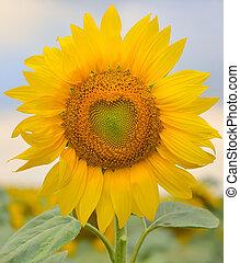 hermoso, sunflower, ,