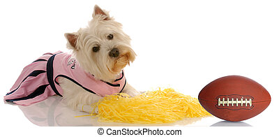 sports hound - westie dressed as a cheerleader with a...