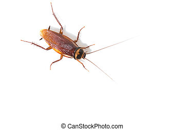 Isolated cockroach on white background, insect not welcome...