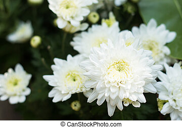 White chrysanthemum flower