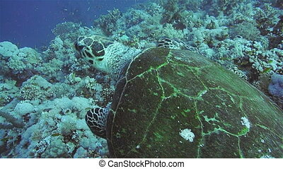 Hawksbill Turtle in the Red Sea - Hawksbill Turtle on a...