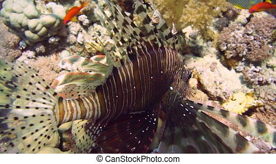 Coral and fish in the Red Sea. Egypt.