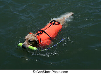 swimming dog with life jacket - dog swimming with a life...