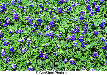 bluebonnet background - a patch of bluebonnets that makes a...