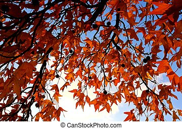 sweet gum tree - fall colors of sweet gum tree