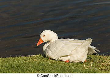 resting domestic goose