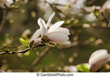 Magnolia white flowers - Blossoming of white magnolia...