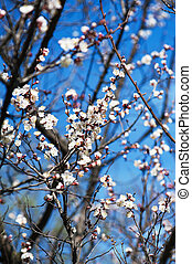 Apricot tree flower against blue sky, seasonal floral nature...