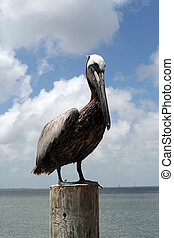 Pelican on a post - a pelican on a post in the bay with a...