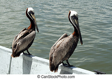 Pelicans on a boat - a few pelicans sitting on the edge of a...