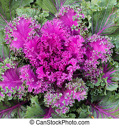 rosette of purple kale