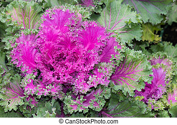 detail of purple ornamental kale