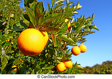 Florida Orange Groves Landscape - The beautiful orange...