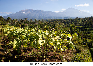 Tobacco plantations in the area of Tetebatu, Lombok,...