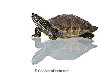 Turtle - Photo of a turtle with reflection isolated on white...