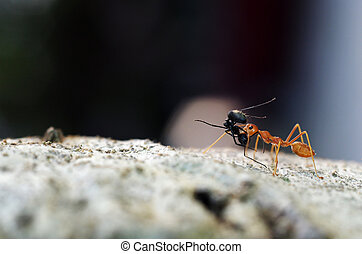 weaver ant is carrying the prey on the tree bark