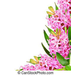 Pink hyacinths - Background of pink hyacinths with space for...