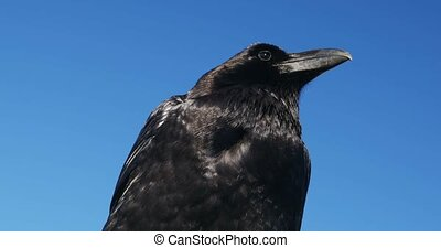 Brilliant closeup of a raven