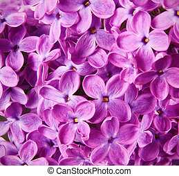 lilac pink flowers close up