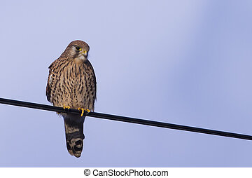 Kestrel perched on a wire looking for food