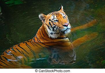 Tiger in water in zoo, Kerala, India