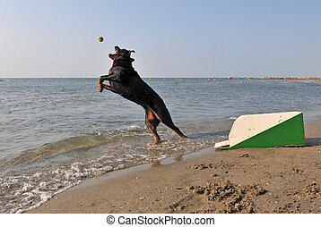 flyball on the beach - a purebred rottweiler playing with a...