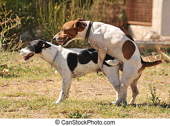 animal sex - two purebred jack russel terrier making love in...