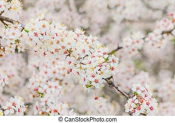 Cherry Blossom (Shallow DOF)