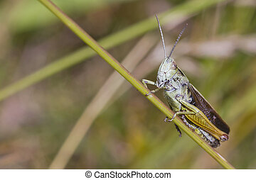 Grasshopper perched on a grass stem closeup
