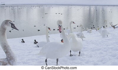 Zagreb, Jarun lake winter time with lot of swans Slow motion...
