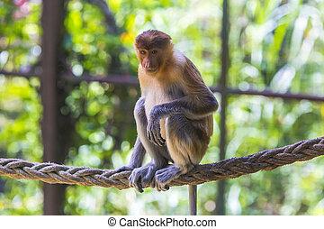 Proboscis monkey in the zoo of Kota Kinabalu, Malaysia.