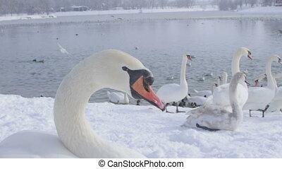 Mute Swan - Cygnus olor - Portrait of a swan Cygnus olor,...