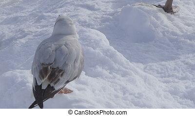 Zagreb, Jarun lake - River Gull (Larus ridibundus) at jarun...