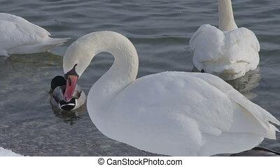 Mute Swan - Cygnus olor - Portrait of a swan (Cygnus olor),...