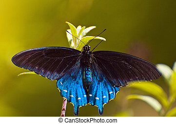 Pipevine Swallowtail at Albuquerque Bio Park Butterfly...