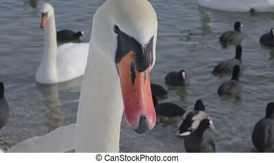 Mute Swan - Cygnus olor - Head of a swan (Cygnus olor) close...