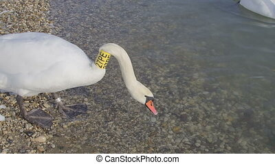Mute Swan with Neck Collar - Mute Swan (Cygnus olor) with...