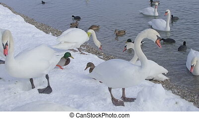 zagreb, jarun lake winter time with lot of birds swans,...