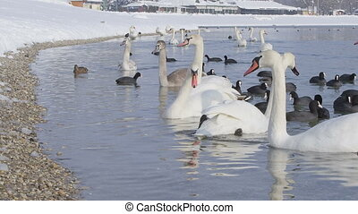 going out - zagreb, jarun lake winter time with lot of birds...