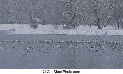 zagreb, jarun lake, winter time - Flock of birds Location:...