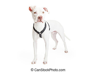 Dogo Argentino Dog Standing At An Angle