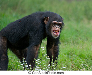 Adult Chimpanzee - Pan troglodytes - Funny chimpanzee in the...