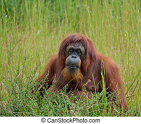 Orangutan sitting in the tall grass