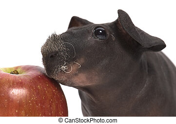 skinny guinea pig and red apple h on white background