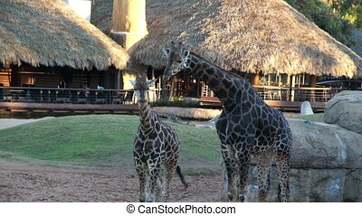 adult giraffes and cubs walking in the natural environment...