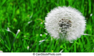 Closeup of dandelion in the wind