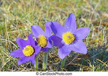 Mountain Pasqueflower Pulsatilla montana